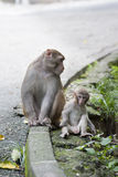 Baby monkey and mother Stock Photography