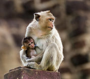 Baby monkey and mother. Baby monkey eating milk from the mother royalty free stock images