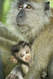 Baby monkey with mother. Baby monkey clinging onto mother
