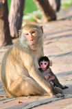 Baby monkey with mother. Baby monkey clinging onto mother royalty free stock photos