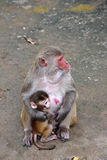 Baby Monkey With Mother Stock Photography