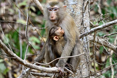 Baby monkey and mother Royalty Free Stock Image