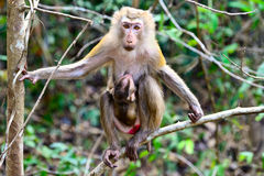 Baby monkey and mother Royalty Free Stock Photos