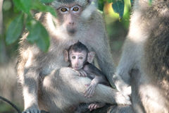 Baby Monkey With Mother Stock Image