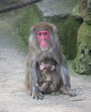 Baby monkey with mother monkey zoo Africa mammal animal Stock Photos