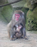 Baby monkey with mother monkey zoo Africa mammal animal Royalty Free Stock Photo