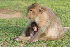 Baby Monkey with Mother Nursing. Baby macaque monkey nursing with mother at a temple in Thailand Royalty Free Stock Images