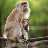 Baby monkey and the mother Royalty Free Stock Image