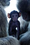 Baby monkey with parents. Cute baby macaque monkey in middle of parents Royalty Free Stock Image