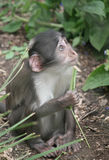 Baby Monkey. Photo of a Baby Monkey, in a zoo Stock Images