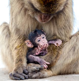 Baby monkey. Photograph of a baby monkey in his mom´s arms royalty free stock images