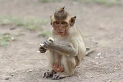 Baby monkey Royalty Free Stock Photography