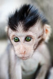 Baby monkey portrait. Portrait of cute baby macaque monkey royalty free stock photography