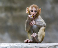 Baby Monkey. Portrait of Baby Rehsus Macaque monkey Stock Photography
