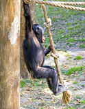 Baby Monkey on a rope swing. Cute Chimpanzee swinging on a rope stock photos