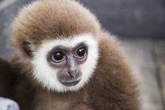 Baby monkey. With scared eyes Royalty Free Stock Image