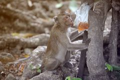 Monkey sit and wait for food. Baby monkey, Monkey sit and wait for food Royalty Free Stock Images
