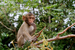 Baby monkey sitting and eating on a tree Royalty Free Stock Images