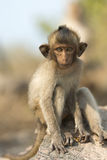 Baby monkey sitting on a rock. Stock Photo