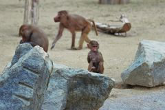 Baby monkey sitting on a stone in augsburg in germany royalty free stock images