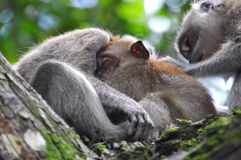 Baby Monkey Sleeping Soundly in Mother's Bossom. A baby long tailed macaque monkey sleeping soundly in the mother's bossom beside the father macaque Stock Photography