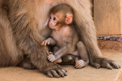 Baby monkey suckling Royalty Free Stock Images