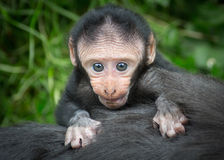 Baby monkey. Baby Sulawesi crested macaque, old world monkey from an Northeast Indonesian island. Macaca Nigra royalty free stock photography