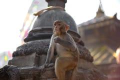 Baby monkey. At Swayambhunath Stupa stock photos