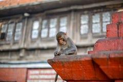 Baby monkey. At Swayambhunath Stupa royalty free stock photography