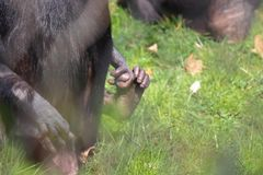 Baby monkey toe with mother in zoo stock image