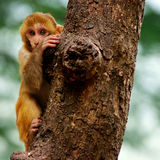 Baby monkey. On a tree Royalty Free Stock Image