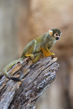 Baby monkey on a tree Royalty Free Stock Photos