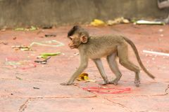 Animal monkey sitting on concrete floor Royalty Free Stock Photography