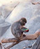 Baby monkey zoo Stock Photos