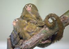 Baby monkeys Stock Photos