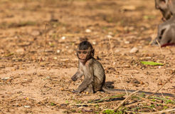 Baby monkeys ( Crab-eating macaque )  cold in morning Stock Photo