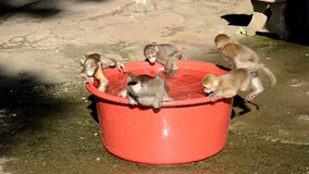 Baby monkeys drinking and playind with water stock video footage