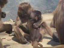 Hugging monkeys stock photography