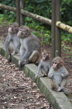 Baby Monkeys rested on roadside. With parents in Hong Kong Royalty Free Stock Image