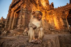 Baby monkeys in Thai Temple Stock Photos