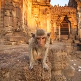 Baby monkeys in Thai Temple. Lopburi, Thailand royalty free stock photography