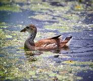 Baby moorhen. Baby chick of moorhen gallinula chloropus on the water Stock Images