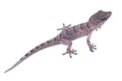 A baby Moorish gecko Stock Image