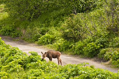 Baby moose. Young moose munchig green leaves, Alaska USA stock photo