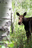 Baby moose. A baby moose as seen in a natural environment Royalty Free Stock Image