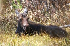 Baby moose. Taking rest in forest Stock Images