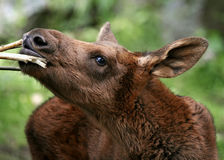 Baby moose. Munching on a branch royalty free stock photos