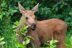 Baby Moose Calf Stock Image