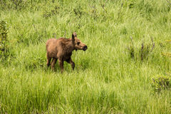 Baby Moose In Colorado. Young male moose in Rocky Mountain Natoinal Park Colorado Stock Images