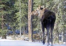 Baby moose Royalty Free Stock Photos